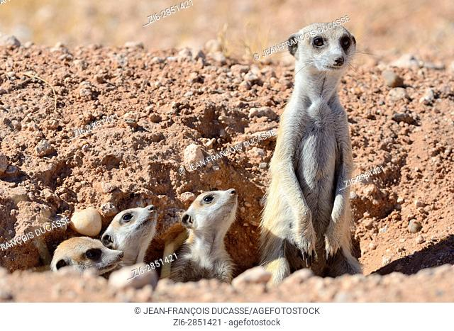 Meerkats (Suricata suricatta), adult and young at burrow entrance, Kalahari desert, Hardap Region, Namibia, Africa