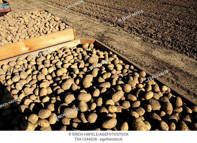 Freshly harvested potatoes on a German Field