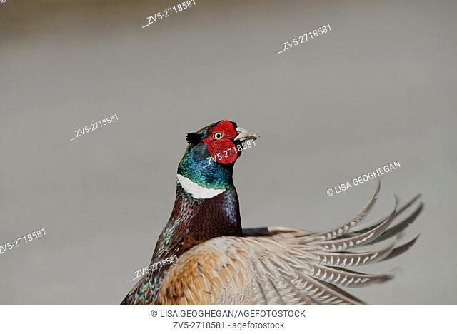 A close-up of a Male Pheasant- Phasianus colchicus. Spring. Uk