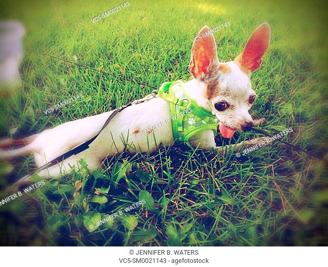 A chihuahua resting in the grass