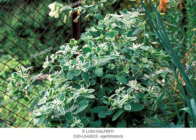 Euphorbia Marginata, Italy