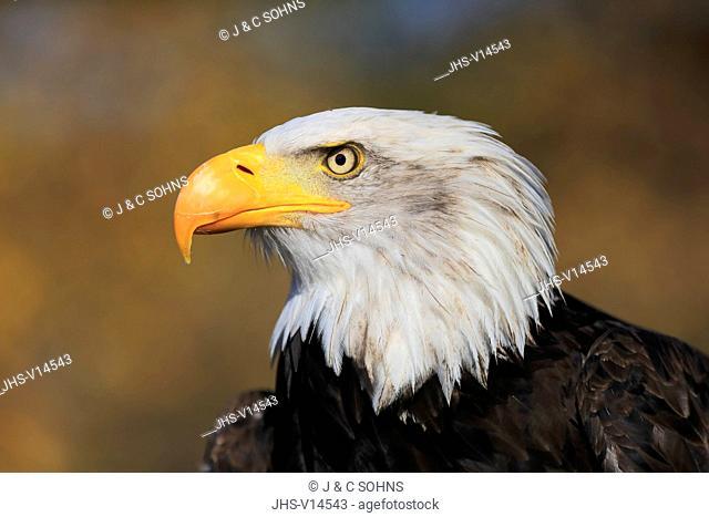 Bald Eagle, (Haliaeetus leucocephalus), adult portrait alert, captive, Rimavska Sobota, Slovak Republic, Europe