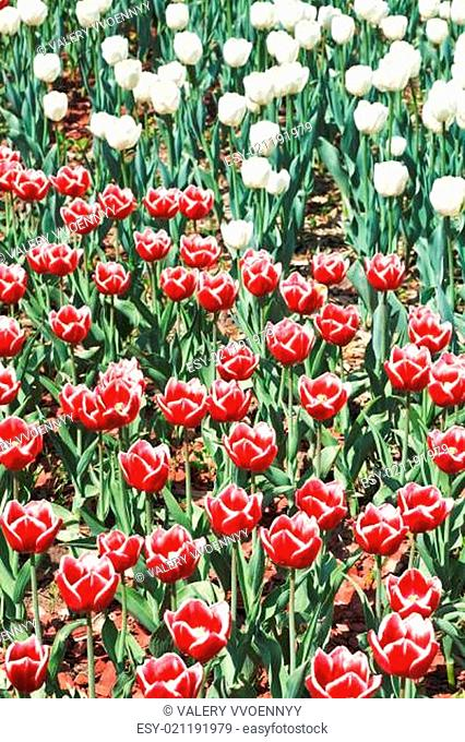 many red and white decorative tulips