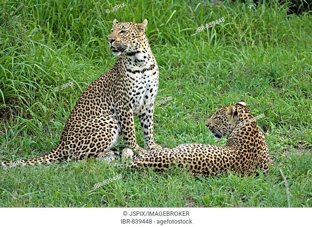 Leopard (Panthera pardus), female, adult, with young animal, Sabi Sand Game Reserve, South Africa