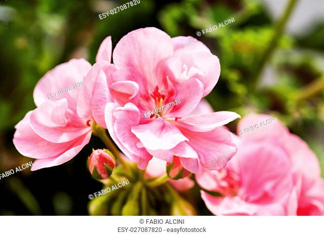 Pink geranium in close up, horizontal image