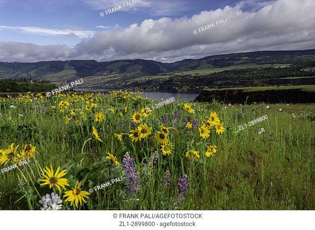 Columbia River Gorge, Oregon, USA; Balsamroot and Lupine wildflowers