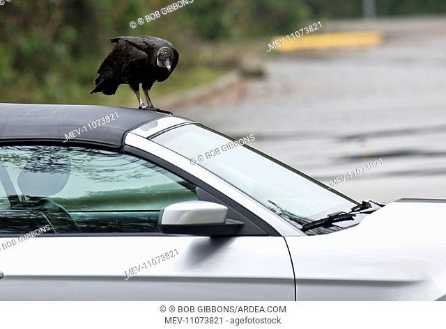 Black Vulture / American Black Vulture attacking vehicle Everglades, Florida, USA