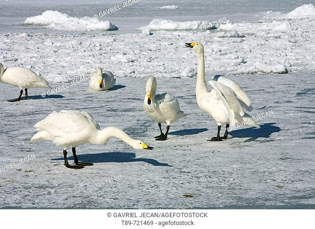 Whopper Swans (Cygnus cygnus)