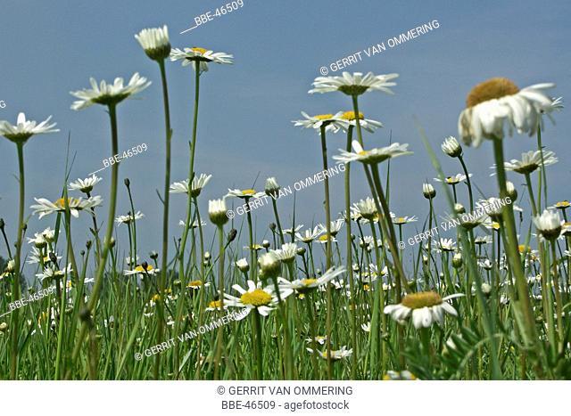 Filed of Ox-eye Daisies (Leucanthemum vulgare)