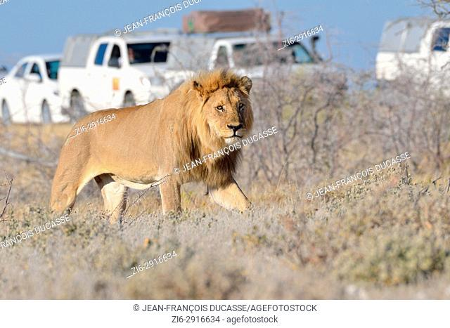 African lion (Panthera leo), adult male walking, tourist vehicles behind, Etosha National Park, Namibia, Africa
