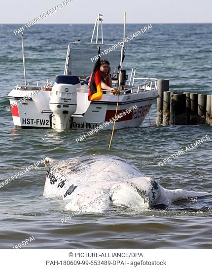 09 June 2018, Germany, Graal-Mueritz: Adead whale is dragged onto a beach at the Baltic Sea. According to experts from the German Oceanographic Museum in...