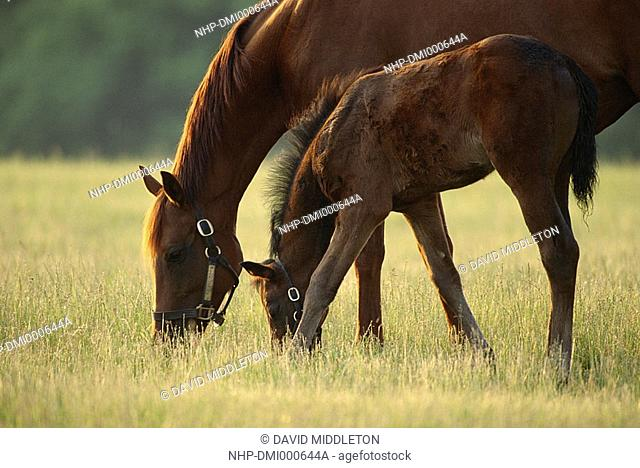 THOROUGHBRED HORSES mother & young grazing  Kentucky, eastern USA