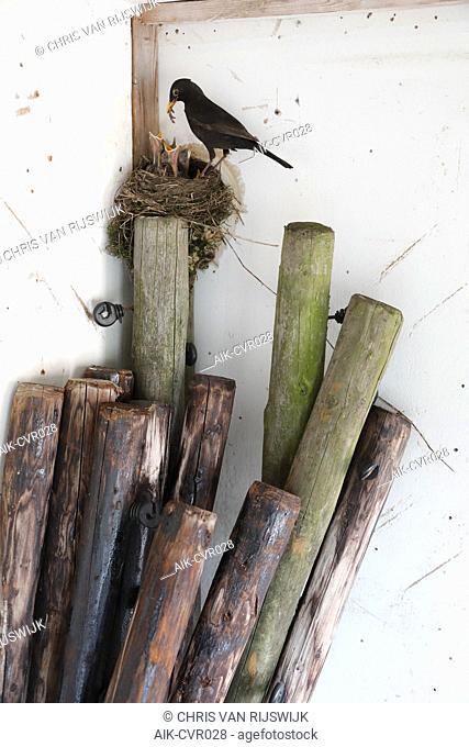 Merel; Eurasian Blackbird