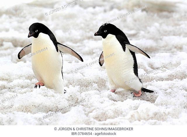 Adélie Penguins (Pygoscelis adeliae), couple walking in the snow, Devil Island, Antarctica