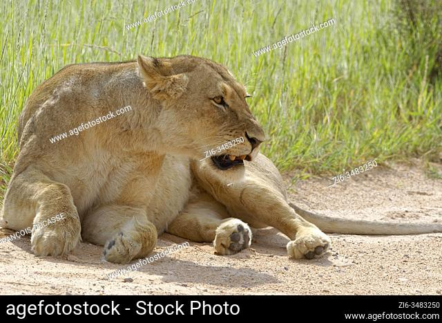 Lioness (Panthera leo), adult female, lying at the edge of a sand road, aggressive, Kgalagadi Transfrontier Park, Northern Cape, South Africa, Africa