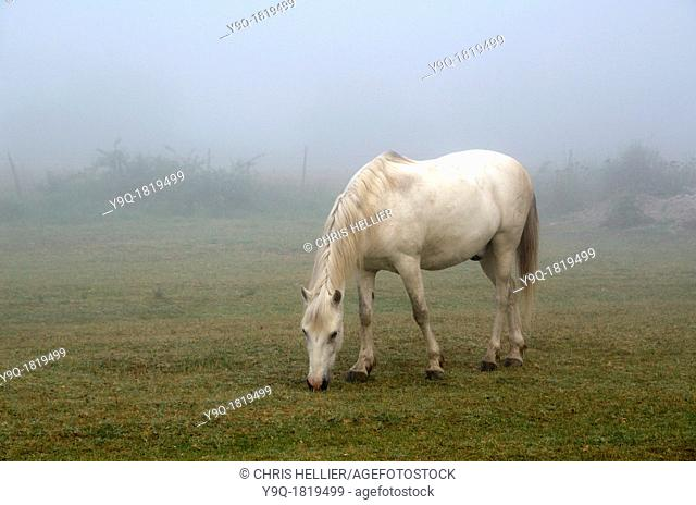 White Camargue Horse in Morning Mist Camargue Provence France