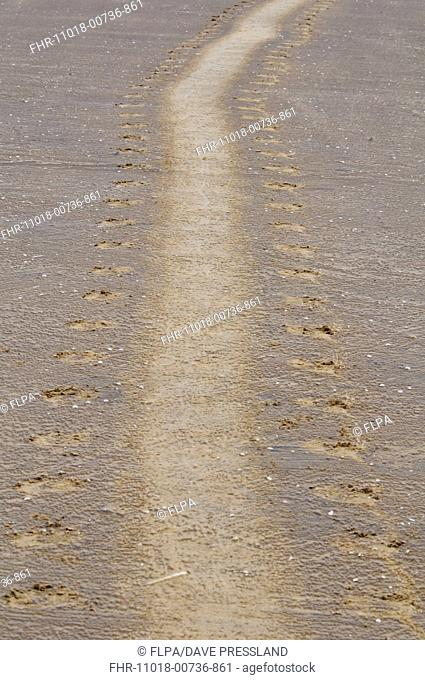 Grey Seal Halichoerus grypus tracks in sand, Donna Nook, Lincolnshire, England, november