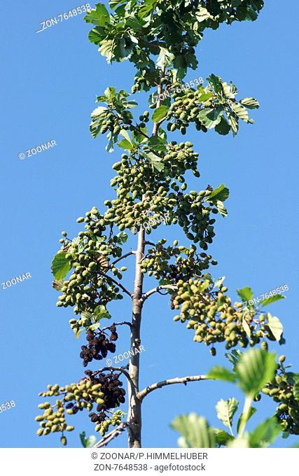 Alnus glutinosa, Schwarzerle, Black alder, junge und alte Früchte