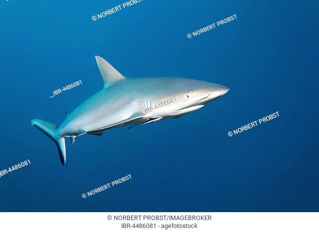 Gray reef shark (Carcharhinus amblyrhynchos), Indian Ocean, Maldives