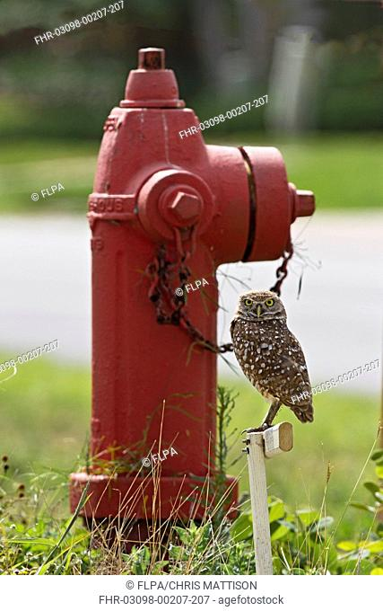 Burrowing Owl Speotyto cunicularia adult, perched on post beside fire hydrant in urban area, Marco Island, Florida, U S A