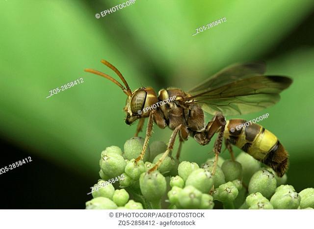 Wasp , Aarey Milk Colony , INDIA