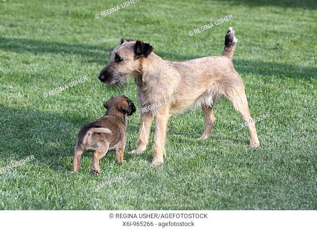 Westfalia / Westfalen Terrier, puppy playing with mother, Germany