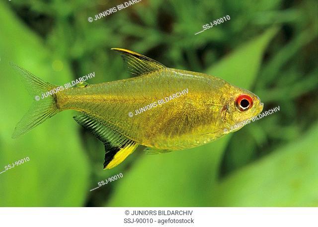hyphessobrycon pulchripinnis / lemon tetra
