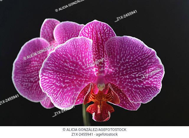 Phaleanopsis close up