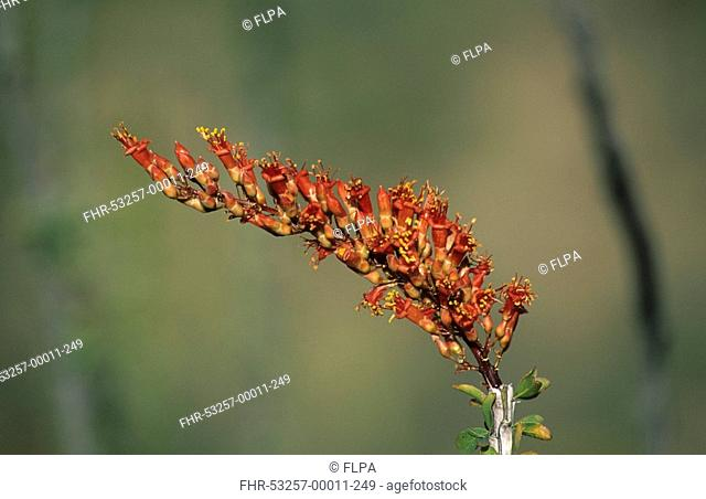 Ocotillo Fouquieria splendens close-up of flower, Sonora Desert, Arizona, U S A