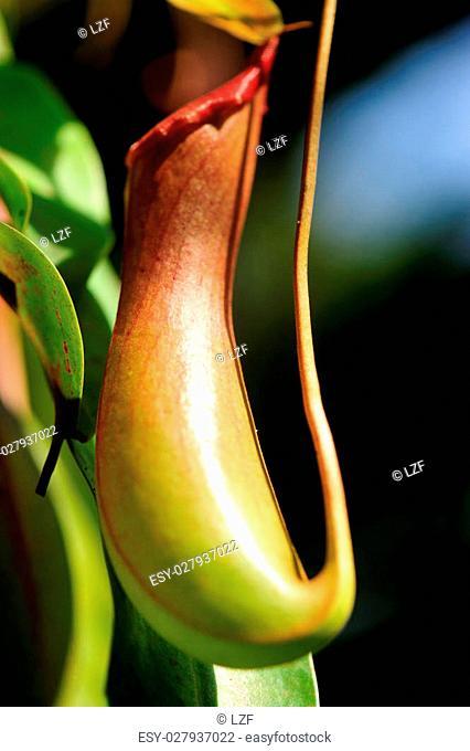 nepenthes villosa - pitcher plants