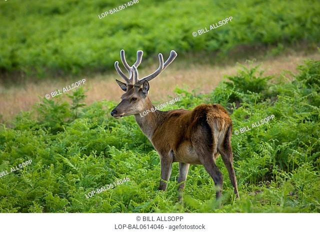 England, Leicestershire, Newton Linford. Red deer with velvet on antlers in Bradgate Park in Leicestershire
