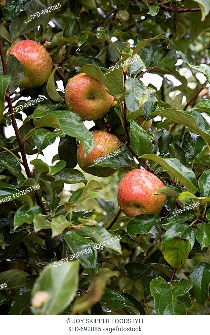Royal Gala Apples Growing in an Orchard, Ceres, South Africa