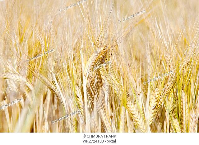 Agriculture - Field Of Rye