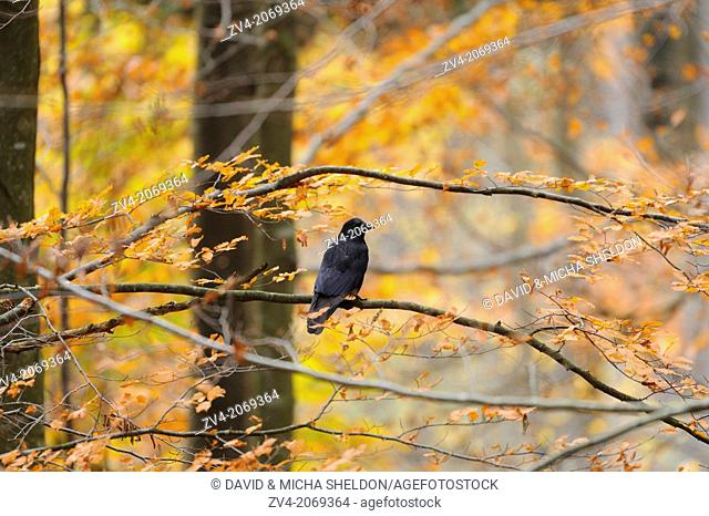 Close-up of a Carrion Crow (Corvus corone) in autumn in the bavarian forest