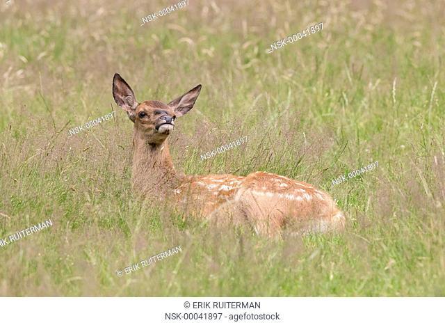 Red Deer (Cervus elaphus) calf resting in grassland, The Netherlands, Hoge Veluwe