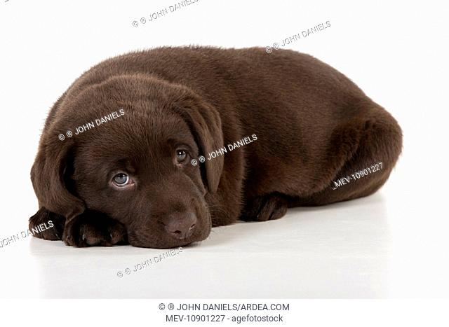 DOG - Chocolate labrador puppy. laying down (7 weeks)