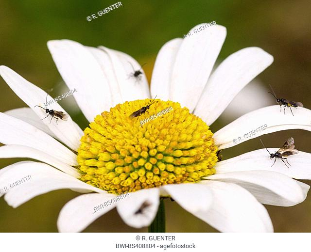 braconid, braconid wasp (Bracon atrator), Males on the flower of oxeye-daisy (Leucanthemum vulgare), Germany