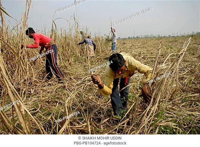 Farmers are cutting sugarcane from a field Chuadanga, Bangladesh February 2010