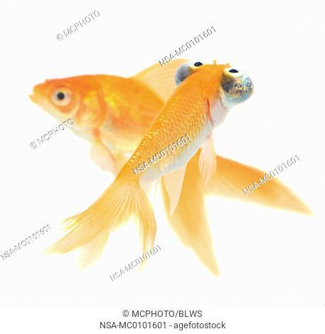 Carassius auratus, goldfish, common carp