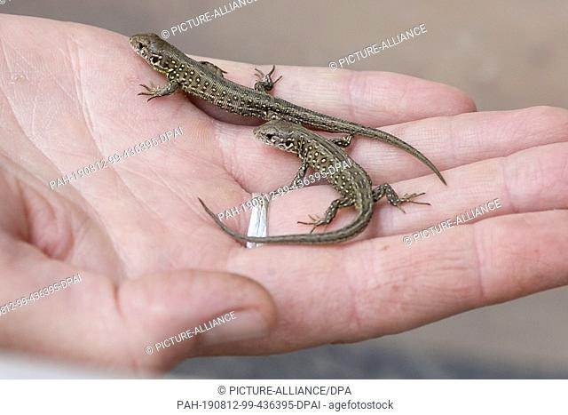 09 August 2019, Schleswig-Holstein, Kiel: Two young sand lizards sit in the palm of one hand. The Schleswig-Holstein Foundation for Nature Conservation is...