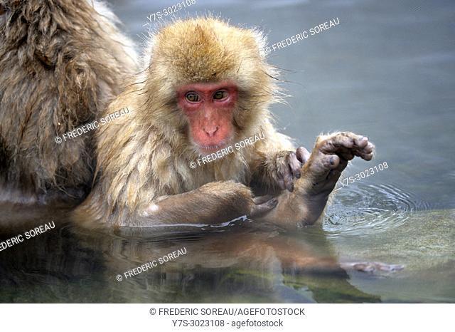 Japanese Macaque snow monkey at Jigokudani Monkey Park near Nagano,Honshu,Japan,Asia