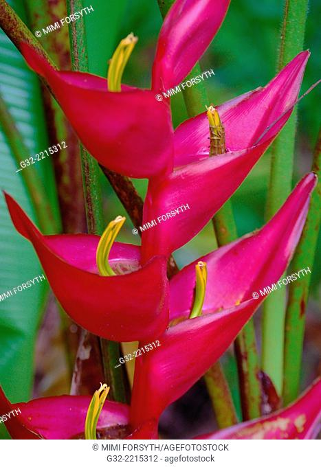 "Heliconia stricta, """"firebird"""", native to Latin America, and S. Pacific, photographed in Hawai'i"
