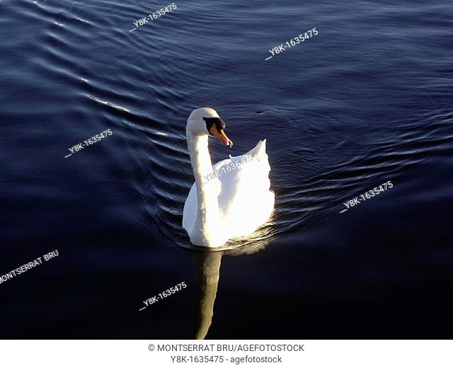 Mute swan swimming on rippled water in Southport, UK