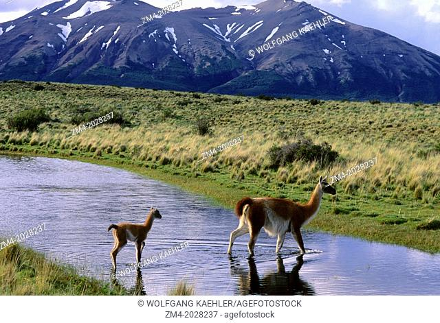 CHILE, TORRES DEL PAINE NAT'L PARK, GUANACOS, MOTHER WITH BABY (CHULENGO) WALKING THROUGH LAGOON