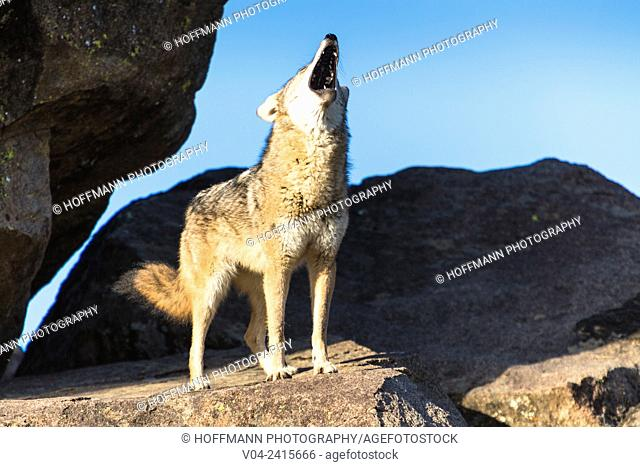 A coyote (Canis latrans) standing on a rock and howling, captive, California, USA