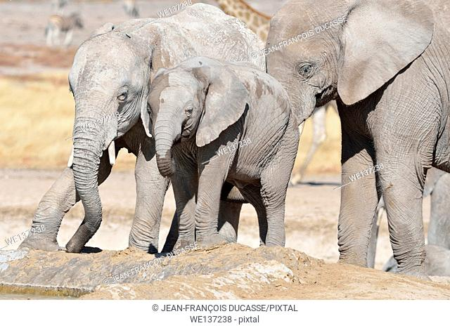African elephants (Loxodonta africana), two young male drinking at a waterhole, Etosha National Park, Namibia, Africa
