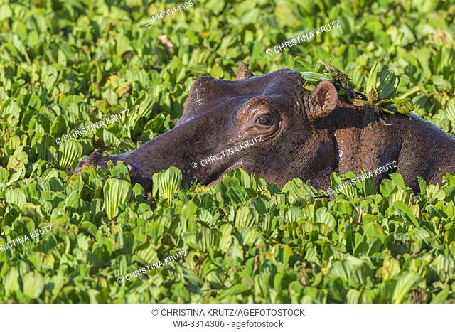 Wild hippopotamus (Hippopotamus amphibus) in a pond covered with water lettuce, Masai Mara National Reserve, Kenya, Africa