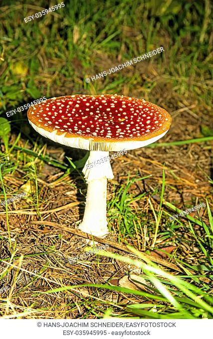fly agaric, old mushroom in Poland