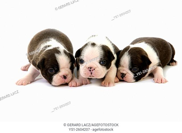 Boston Terrier Dog, Pups standing against White Background