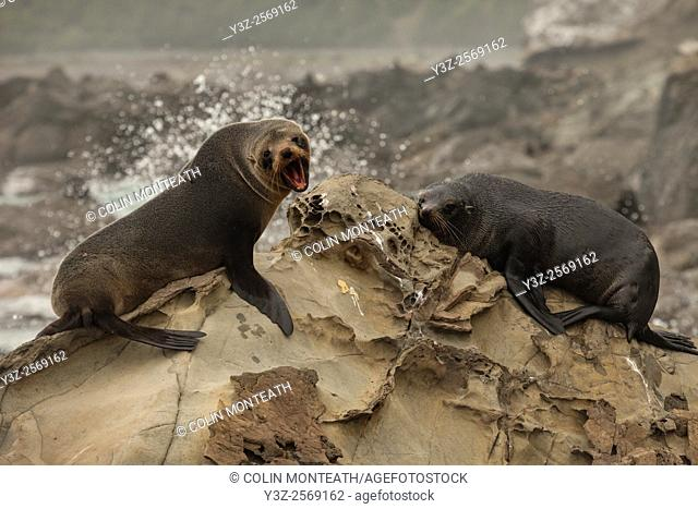 New Zealand fur seals, Kaikoura, North Canterbury, New Zealand